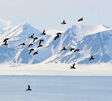 Flying Little Auk on Pillarberget II by Algot Kristoffer Peterson