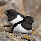 Little auk in West Spitsbergen by Algot Kristoffer Peterson
