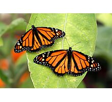 Monarch Twins Photographic Print