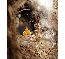 CAROLINA WREN NESTLING - OPEN WIDE Photographic Print