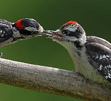 Downy Woodpecker feeding fledgling by Rob Lavoie