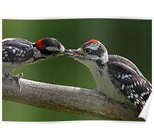 Downy Woodpecker feeding fledgling Poster