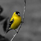 Male Gold Finch by Sheryl Langston