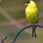 Gold Finch, Male by Sheryl Langston