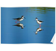 Black Necked Stilts Poster