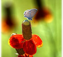 The Butterfly and the Coneflower by Saija  Lehtonen