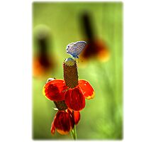 The Butterfly and the Coneflower Photographic Print