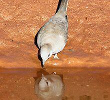 diamond dove reflection by birdpics