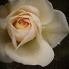 Antique Rose by Karen E Camilleri