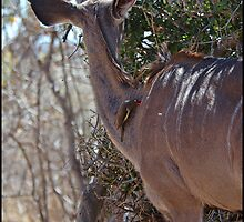 Kudu and Oxpecker by ten2eight