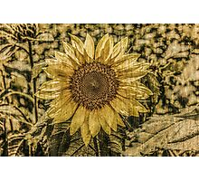 Sunflower Antique Photographic Print