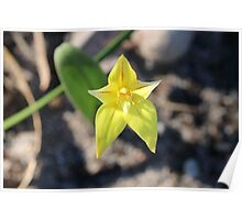 Caladenia in Yellow Poster