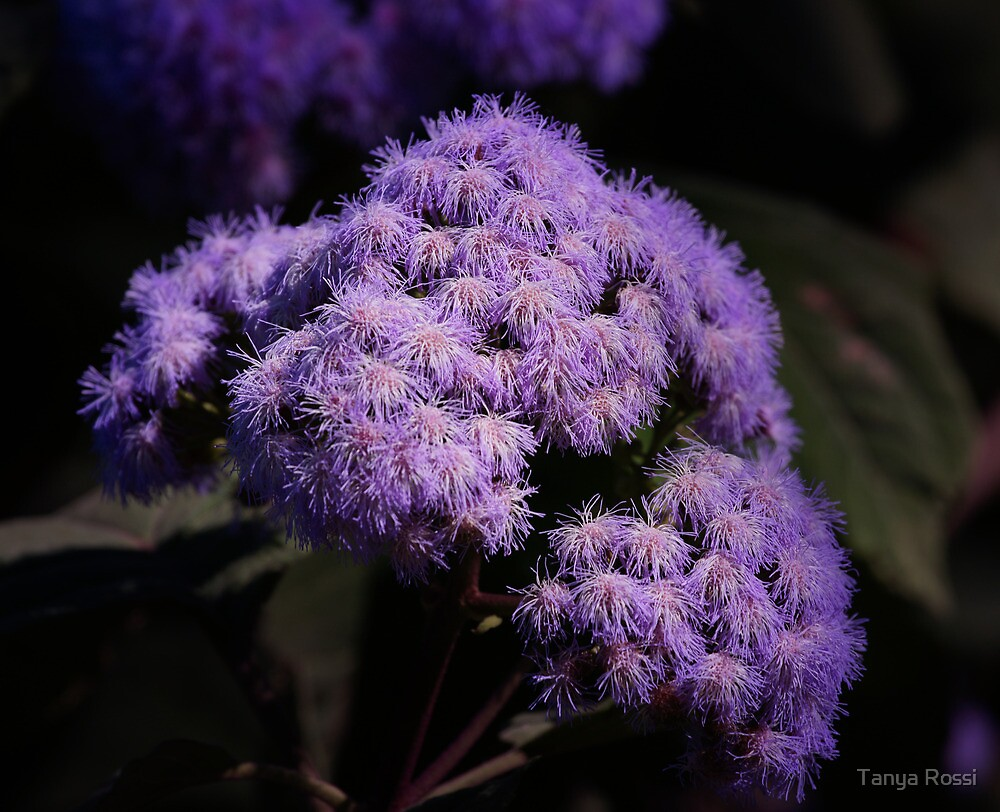 Purple Beauty by Tanya Rossi