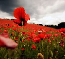 Poppies before the Rain by WillOakley
