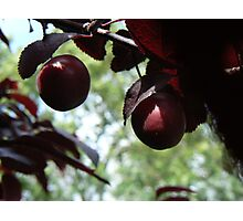 fruit in tree Photographic Print