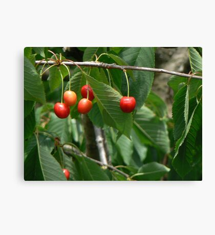 cherry fruit Canvas Print