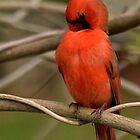 Male Cardinal Preening by Sheryl Gerhard