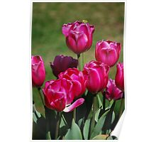 Puce Tulips Poster