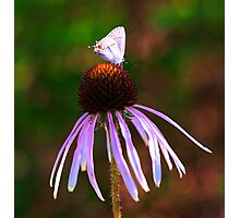 Coneflower Echinacea With Butterfly  Photographic Print