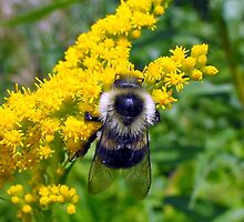 Bee on Goldenrod by katpix