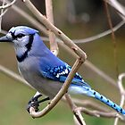 Blue Jay by Sheryl Langston