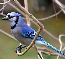 Blue Jay by Sheryl Gerhard
