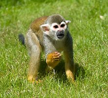 Squirrel Monkey by Robert Taylor