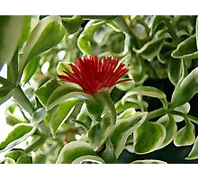 Little Red Flower Photographic Print