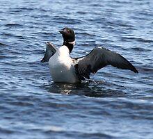 Loon 3 - Lake Muskoka by Carolyn  Reinhart
