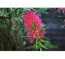 Blooming Bottle Brush Photographic Print