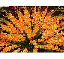 Gladioli / Sword Lily Photographic Print