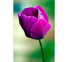 Purple Tulip Flower Photographic Print