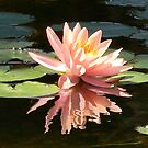 Placid Water Lily by Navigator