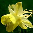 Columbine Flower by PatChristensen