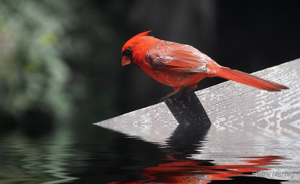 The Cardinal  by Elaine  Manley