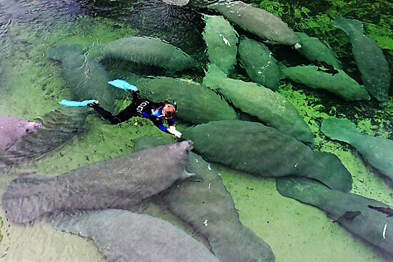 Save the Manatees, Blue Springs State Park by FLgirl