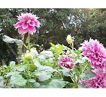 In the Dahlias 19 Photographic Print