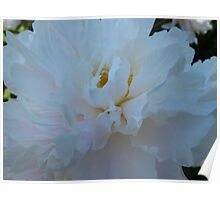 Peony lustre Poster