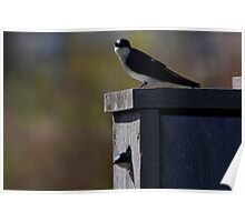 Tree Swallows #3  Poster