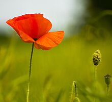Early Poppy by stay-focussed
