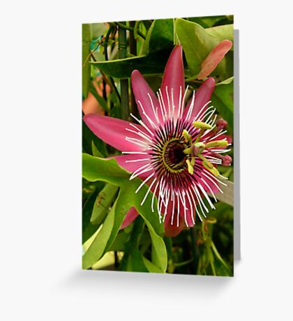 Pink Passion Flower Greeting Card