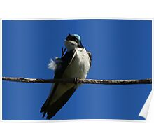 Tree Swallow scratch  Poster
