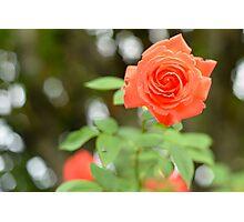 Orange Rose in The Garden Photographic Print
