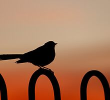 Willy Wagtail by Jenny Dean