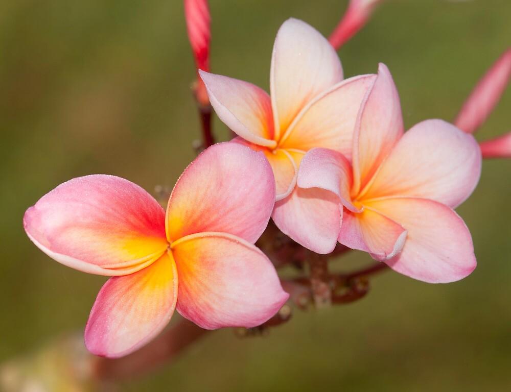 Tropicana - frangapani flower by Jenny Dean