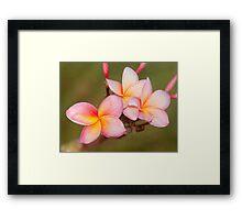 Tropicana - frangapani flower Framed Print