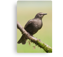 Starling Canvas Print
