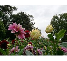 In the Dahlias 11 Photographic Print