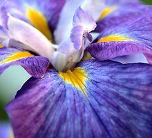 Iris Splender by Geno Rugh