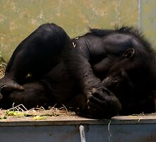 Sleepy Chimp #2 (^-^o) Yawn!!! by Cherie Vivar